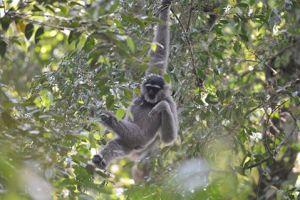 Gibbon_halimun