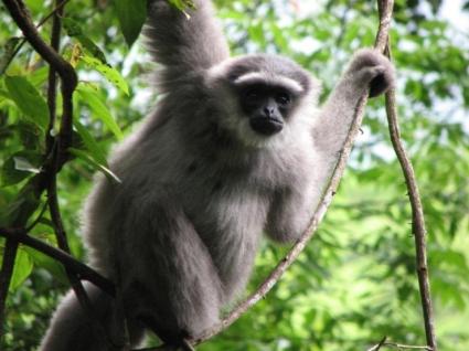 Javan gibbons